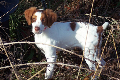 Ajax White Ice 15 week old brittany puppy